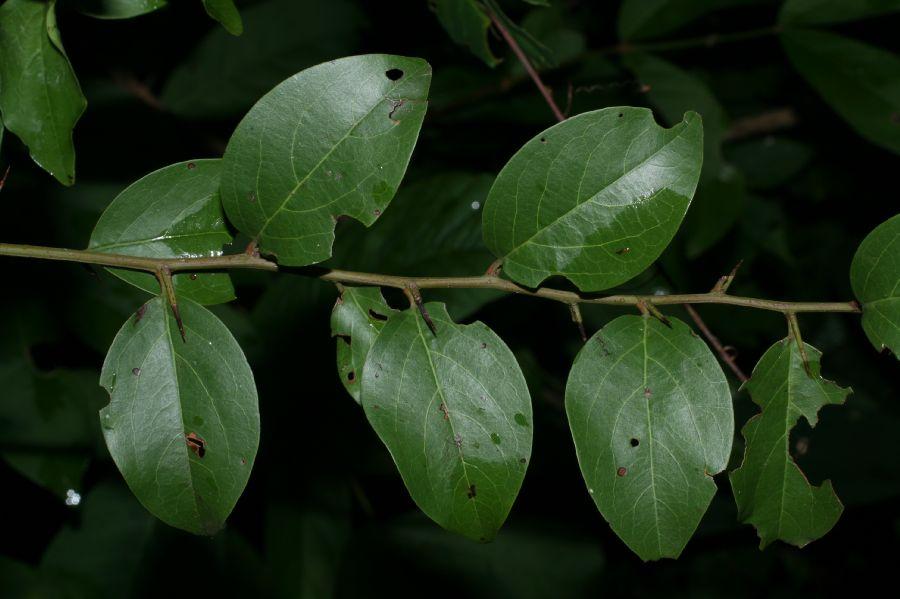 Naked Image - Image of Ximeniaceae Ximenia americana TERMS OF USEXimenia Americana